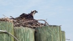 DSC03117 - The Osprey back on her nest